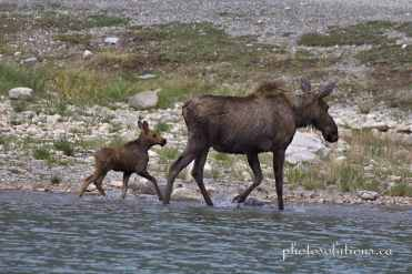 Moose mom and baby swimming at Spray Lakes cropped wm