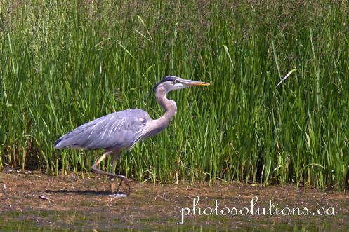 Blue Heron Lochend Rd cropped wm