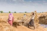 Cultivateurs de riz région de Monywa
