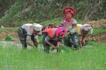 Femmes au travail dans les rizières - Yunna - Chine