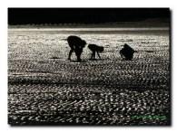 Cueillette des crustacés