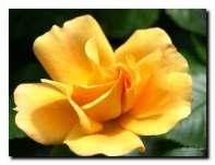 Rose toujours, même jaune d'or