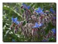 Bourrache, la fleur est plu sfine que non nom.