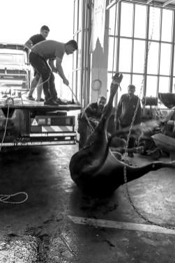 """Zum höchsten islamischen Fest ,,Bayram"""" werden Tiere geschächtet in einer Autowerkstatt in Adiyaman, Kizilin, Türkei. August 2018 // Due to the most import festival of scrifice ,,Bayram"""" animals are getting slaughtered in Adiyaman, Kizilin, Turkey. August 2018"""