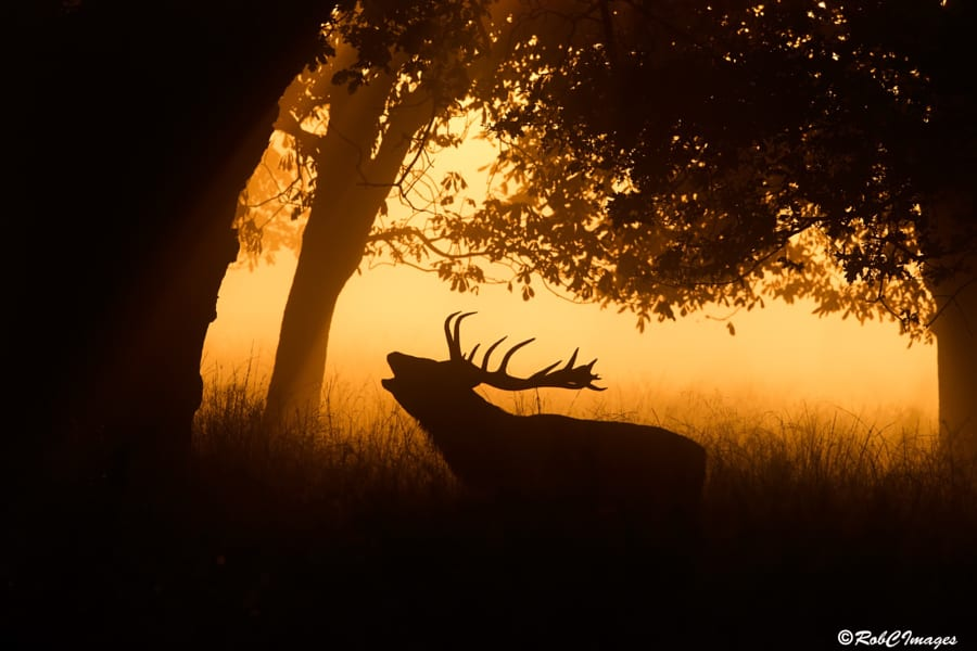 Sunrise-Stag-by-Rob-Cross