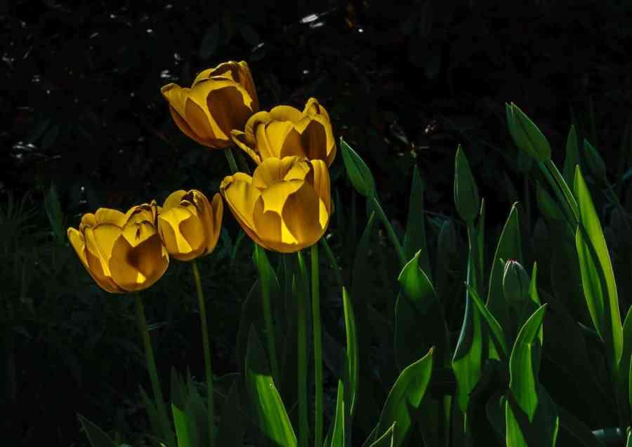 Tulips-taking-the-sun