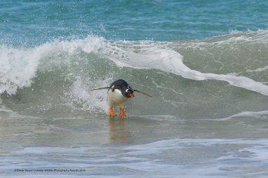 © Elmar Weiss - Surfing… South Atlantic Style! Gentoo Penguin. Bleaker Island, Falkland Islands