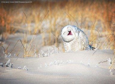 © Vicki Jauron - Holly Jolly Snowy. Snowy Owl, Jones Beach, Long Island, USA