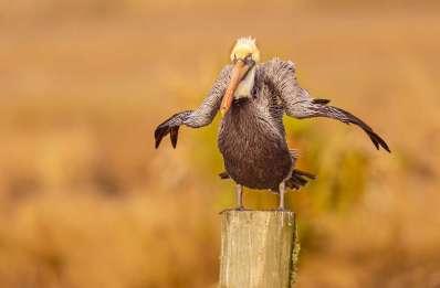 Comedy Wildlife - Dawn Wilson- Brown Pelican Eden