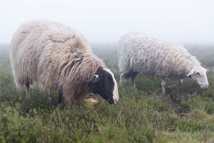Dwalen met de kudde: schapen in de mist