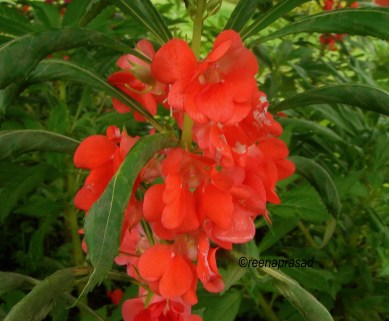 The humble Balsam