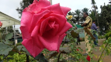 Regal rose-red