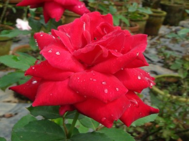 love this red red rose