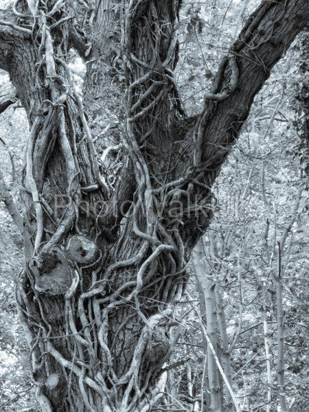 Old Tree with Twisted Dead Ivy - Photo Walk UK