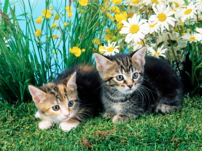 animals_beautiful_sweet_great_funny_cute_cat_background-15