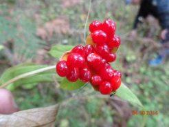 Ripened fruits of Satuwa