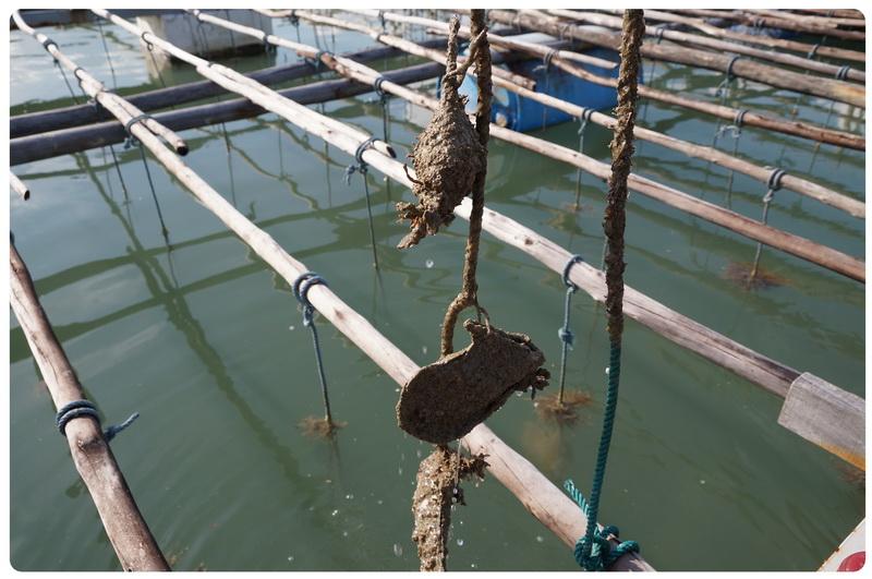 Phuket Pearl farm- 4