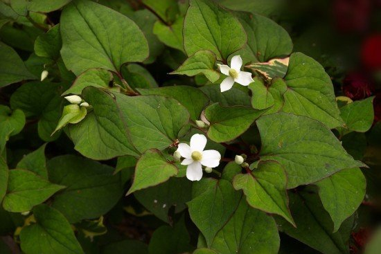 Houttuynia Cordata helps relieve constipation