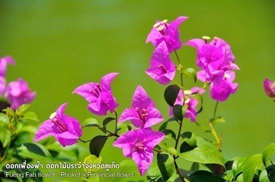 Fueng Fah flower Phuket Provincial flower