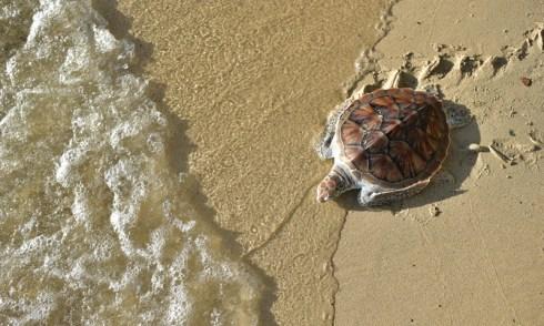 25 Years of Wildlife Conservation Marked at Laguna Phuket Sea Turtle Conservation 2019