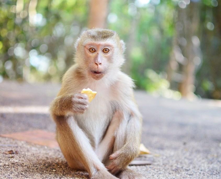 monkey-phuket-1