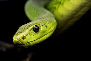 змеи на пхукете