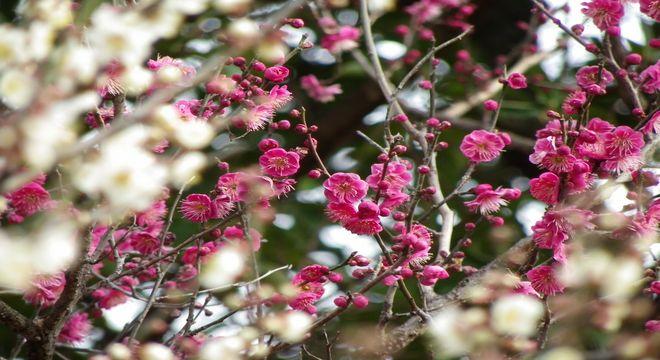 島根県の梅の名所