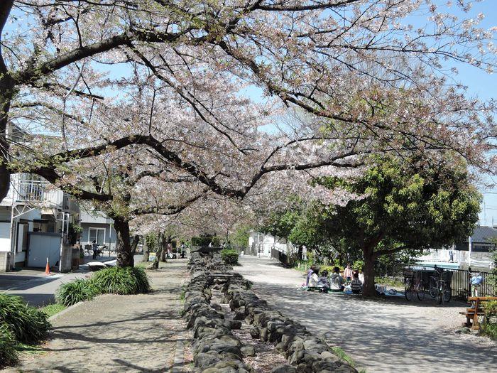谷古田河畔緑道の桜