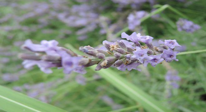 ラベンダーの花-1