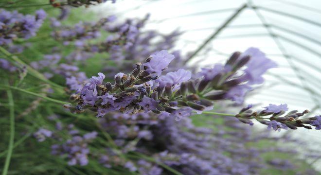 ラベンダーの花-2