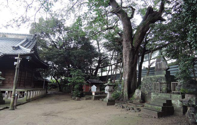 栗橋八坂神社|御神木