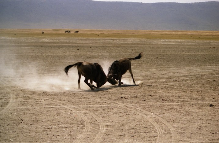 Two wildebeests fought by the horns.