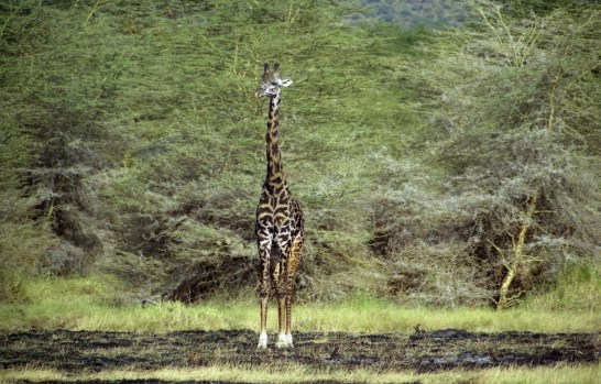A giraffe rested standing on a plain near the Ngorongoro Crater.
