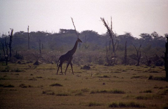 A giraffe strolled down a plain in the Lake Manyara National Park.