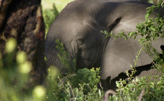 An elephant ate behind a bush. Elephants are the largest land animal with terrible eyesight, but with superb hearing and sense of smell.