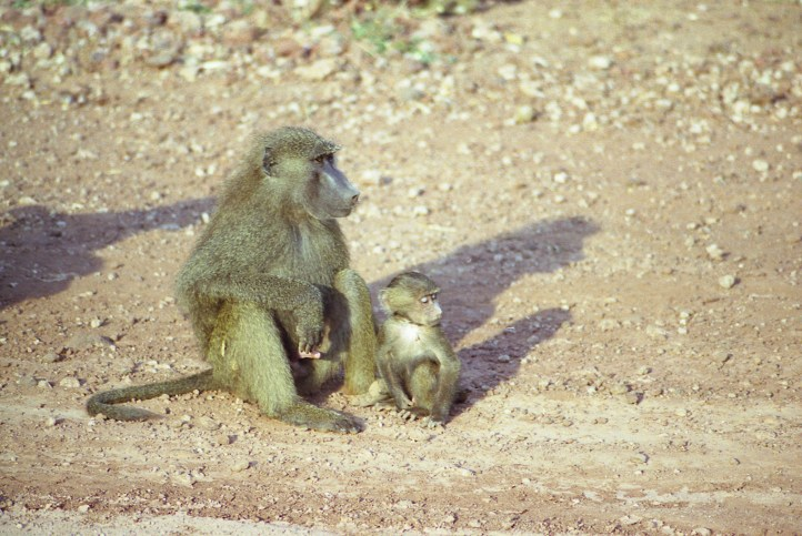 A baboon and a baby baboon sunbathed by the dirt road in the Lake Manyara National Park.