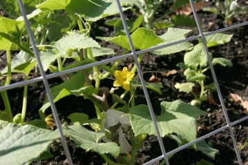 This squash blossom is also edible.