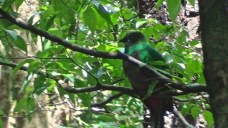 Not a great photograph, but this is the elusive quetzal, considered one of the most beautiful birds in the world. This female was nesting with the long-tailed male just off the trail but I couldn't get better images. Fascinating to watch them take turns building their nest.