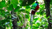 Fuzzy image of the male quetzal.