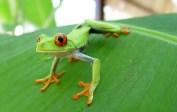 costa-rican frog