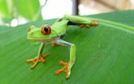 costa-rican frog