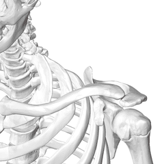 scarf test - acromioclavicular joint