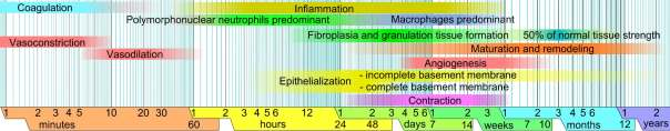 Tissue Wound Healing Phases Timeline