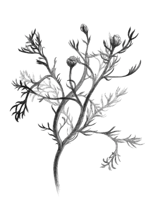 Chamomile PhytologyPhytology