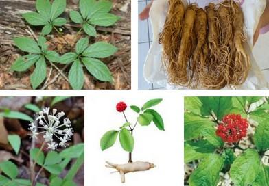 Planche botanique de Ginseng