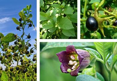 Planche botanique de la belladone