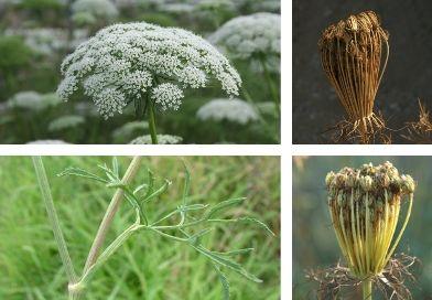 Planche-botanique-de-la-khella