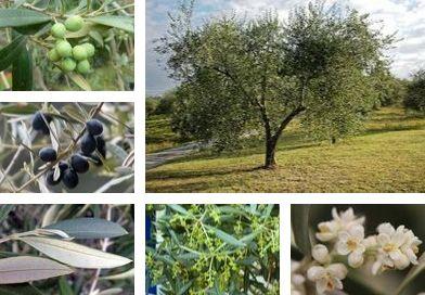 Planche botanique de l'olivier