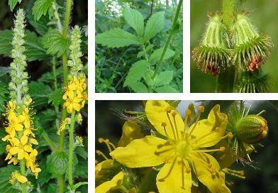 Planche botanique de l'aigremoine (Agrimonia eupatoria L.)