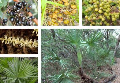 Planche botanique du palmier de Floride  (Serenoa repens W.B. Bartram Small)